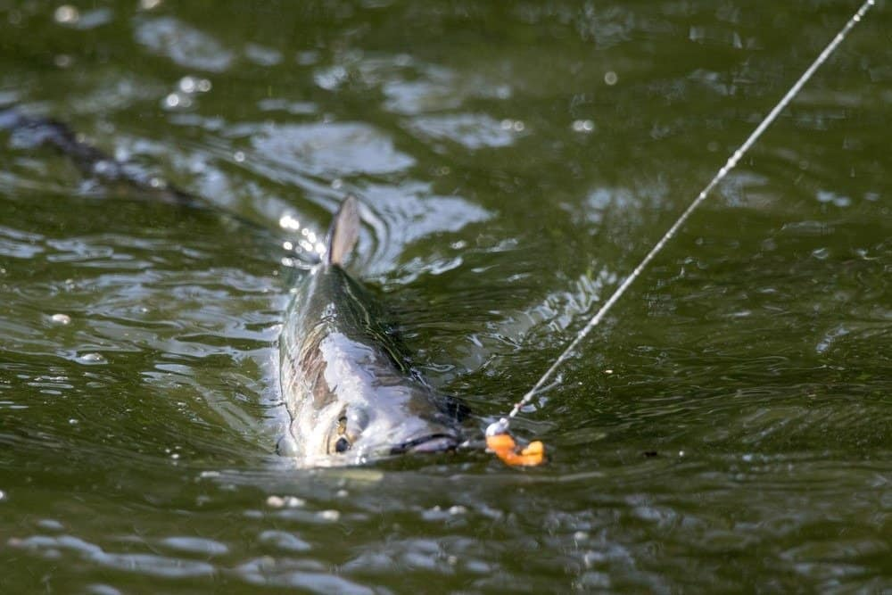 Tarpon jumping, fighting with an angler