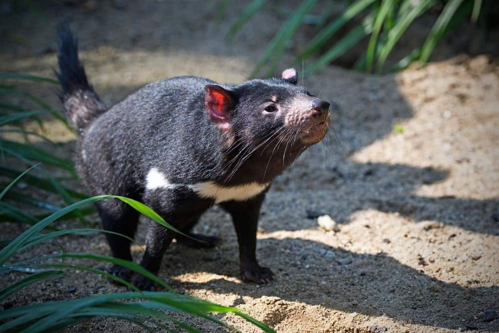 Tasmanian devil walks on path sniffing
