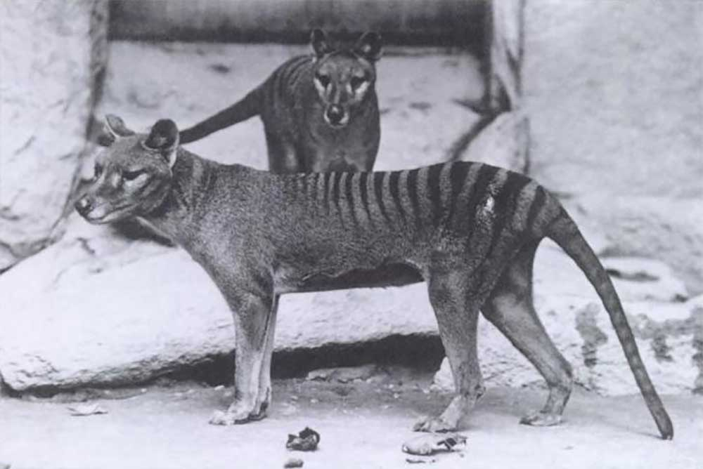 two of the last Tasmanian tigers before species extinction