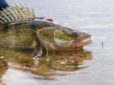 A Walleye Fish