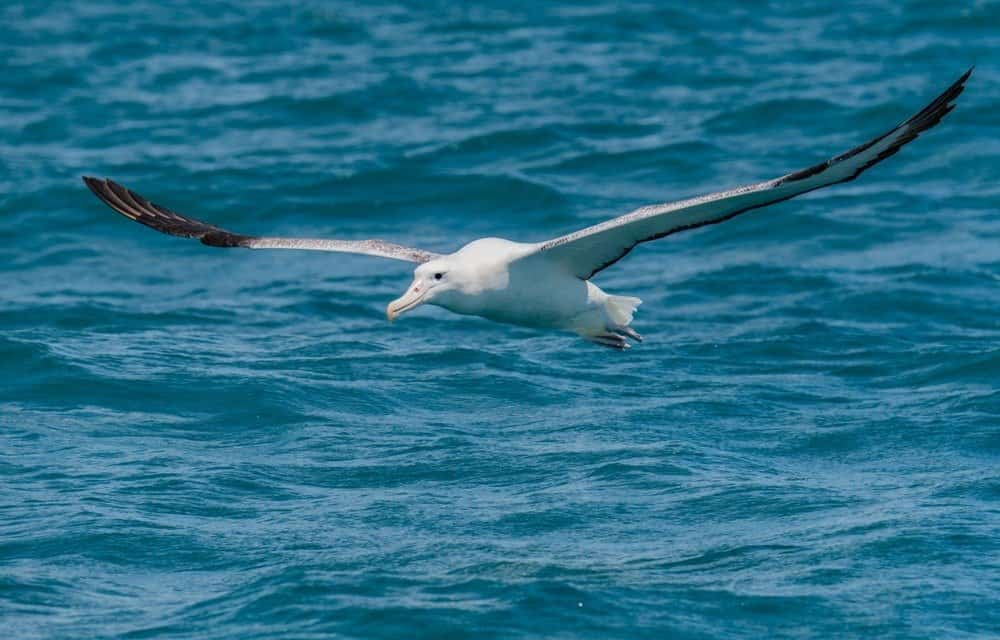 A Beautiful Wandering Albatross Soaring off the Coast of New Zealand