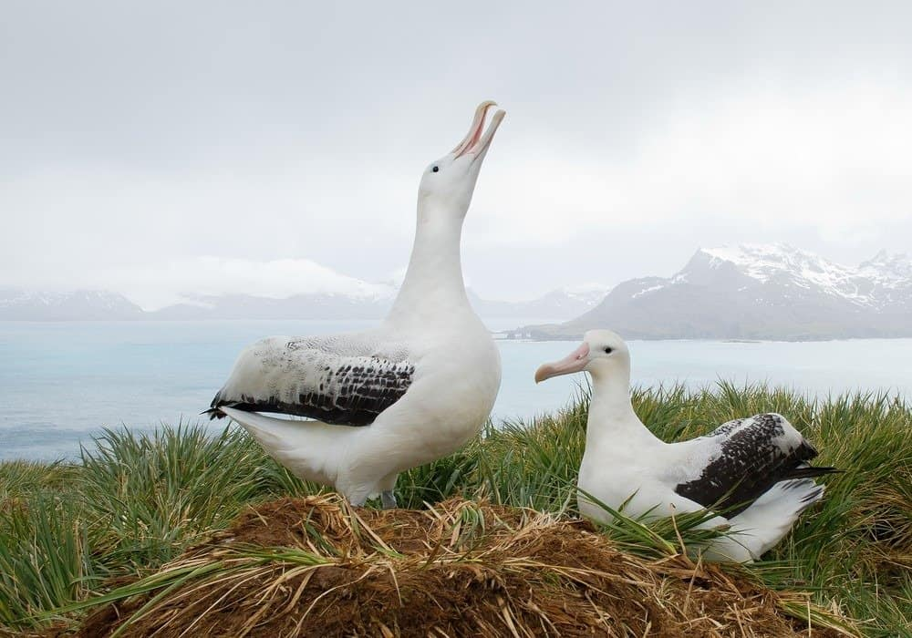 Pair of wandering albatrosses on the nest, socializing South Georgia Island, Antarctica