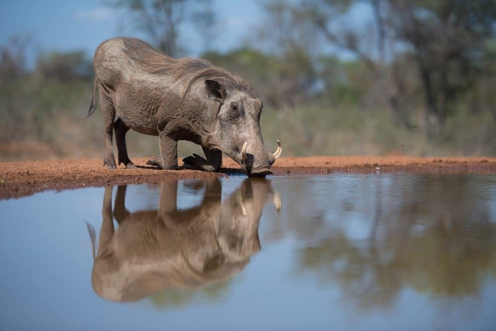 A horizontal, full length, color image of a warthog, kneeling to drink from a pool at a hide in Karongwe Game reserve, South Africa.