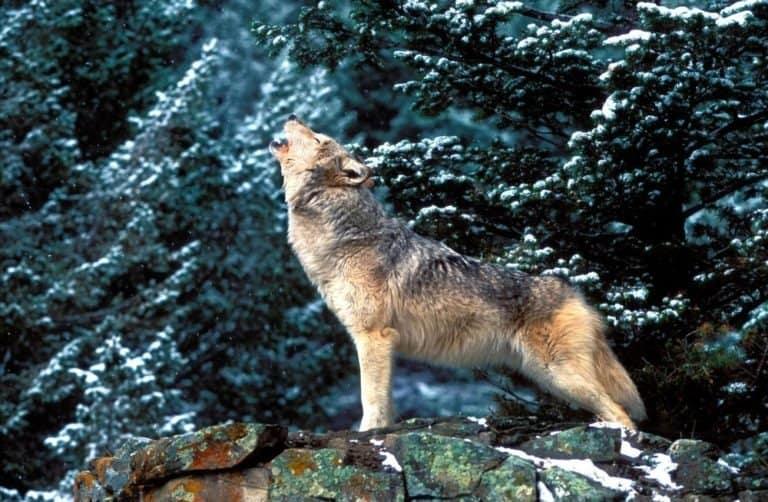 Tundra Arctic Wolf