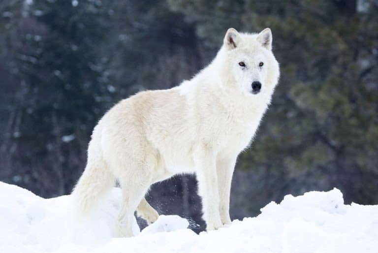 Gray or Arctic Wolf in deep snow
