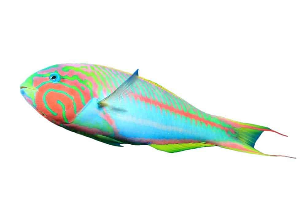 Tropical reef fish (wrasse)